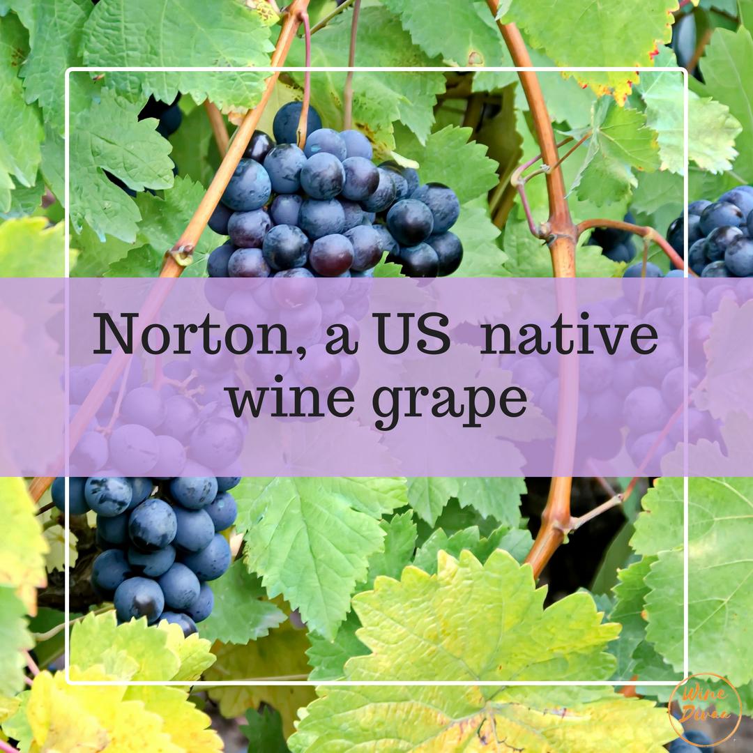 Winegrapes Norton, a US native wine grape