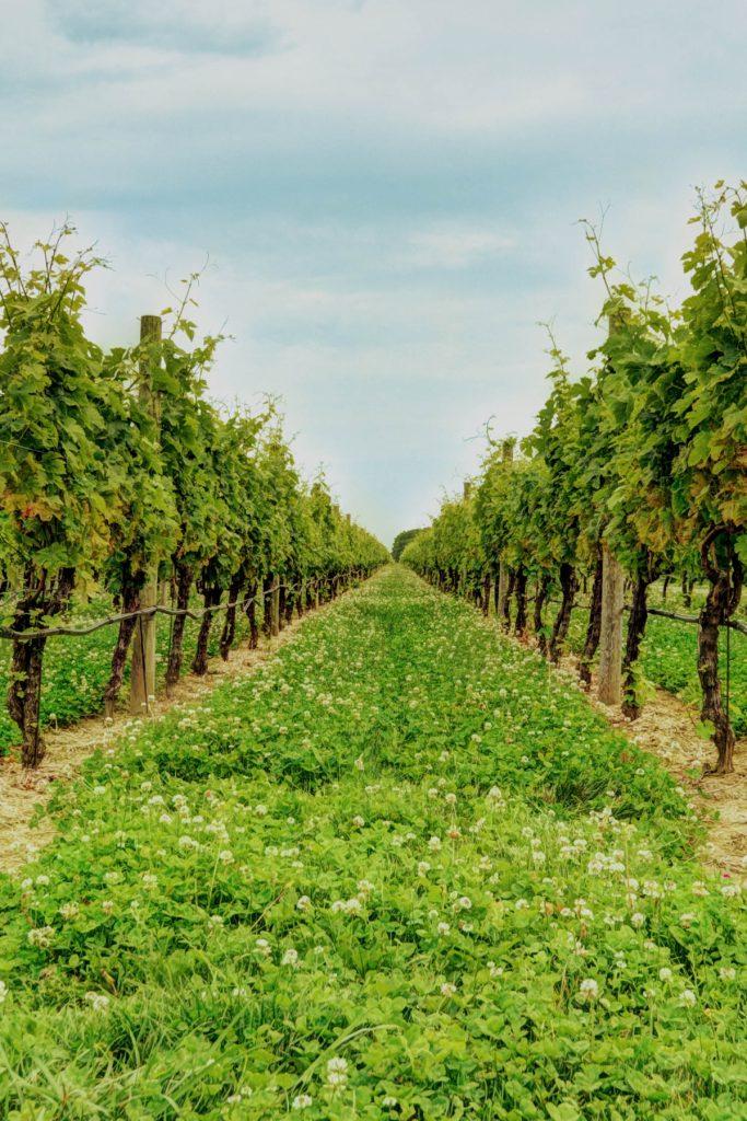 RGNY vineyards at Riverhead, New York